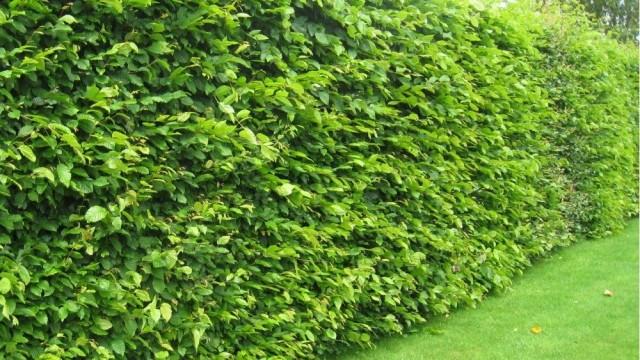 Serena news distanze dai confini e alberi la normativa for Alberi simili alle querce